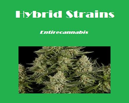 Hybrid Strains at Entirecannabis | Buy Marijuana online
