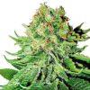 Monarch Seeds - Feminized | Marijuana seeds for sale