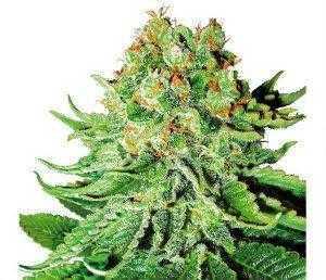 Monarch Seeds - Feminized   Marijuana seeds for sale