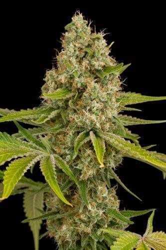 O.G Kush Seeds – Feminized | Buy Marijuana seed online