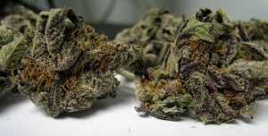 Purple Haze – Sativa   Marijuana Strains for sale