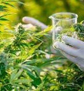 Could cannabis flavonoid help treat pancreatic cancer?